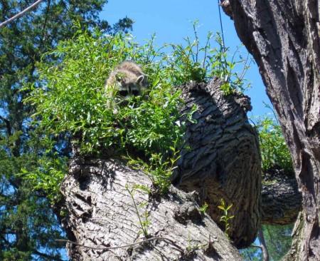 Mother Raccoon in the Rock Garden
