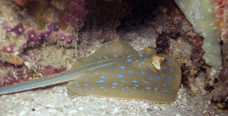 Blue-Spotted Stingray - Dasyatis kuhlii