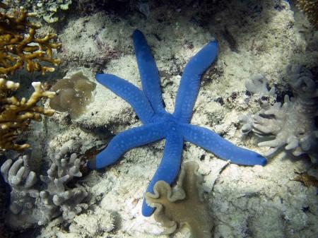 Blue Starfish (Linckia laevigata)