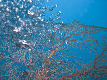 Bubbles rising through a fan coral