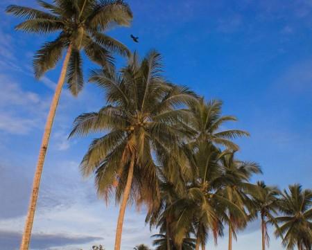 Sky, coconuts, bird