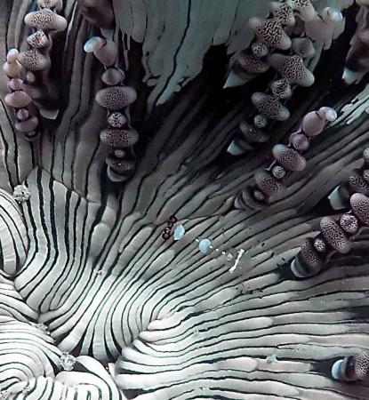Periclimenes shrimp
