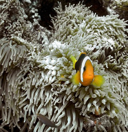 Red and Black Anemonefish (Amphiprion melanopus)