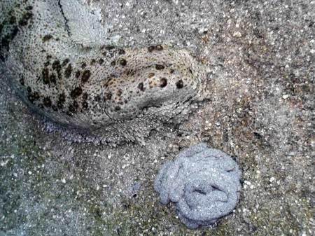 Sea Cucumber (Thelenota anax) with poo