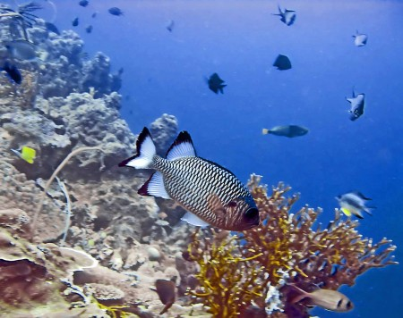 Shadowfin Soldierfish (Myripristis adusta)