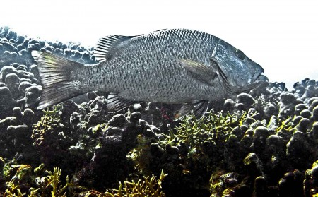 Silver Sweetlips adult (Diagramma pictum)
