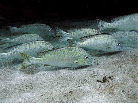 silver sweetlips sub-adult diagramma pictum