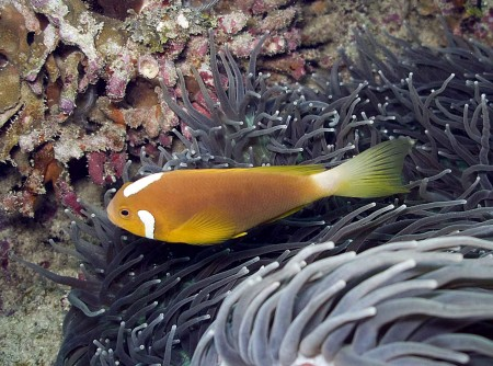 White Bonnet Anemonefish (Amphiprion leucokranos)