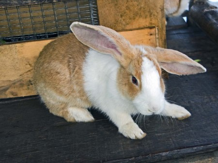 A floppy-eared Papua New Guinean bunny