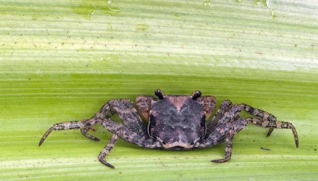 Grumpy looking crab on a Pandanus leaf