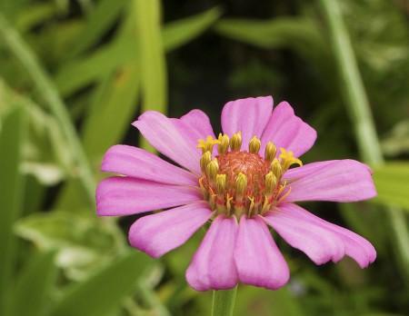 Magenta daisy