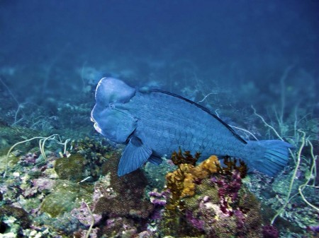 Hump Headed Parrotfish (Bulbometopon muricatum)