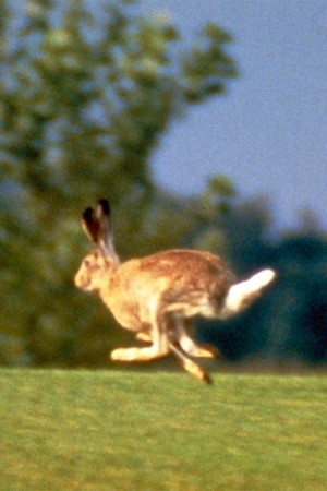 Lepus townsendii - the White-tailed Jackrabbit (summer coat)