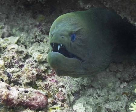 Moray Eel (Gymnothorax javanicus)