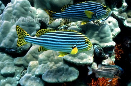 Adult Oriental Sweetlips (Plectorhinchus vittatus) - [from travelimage.com]