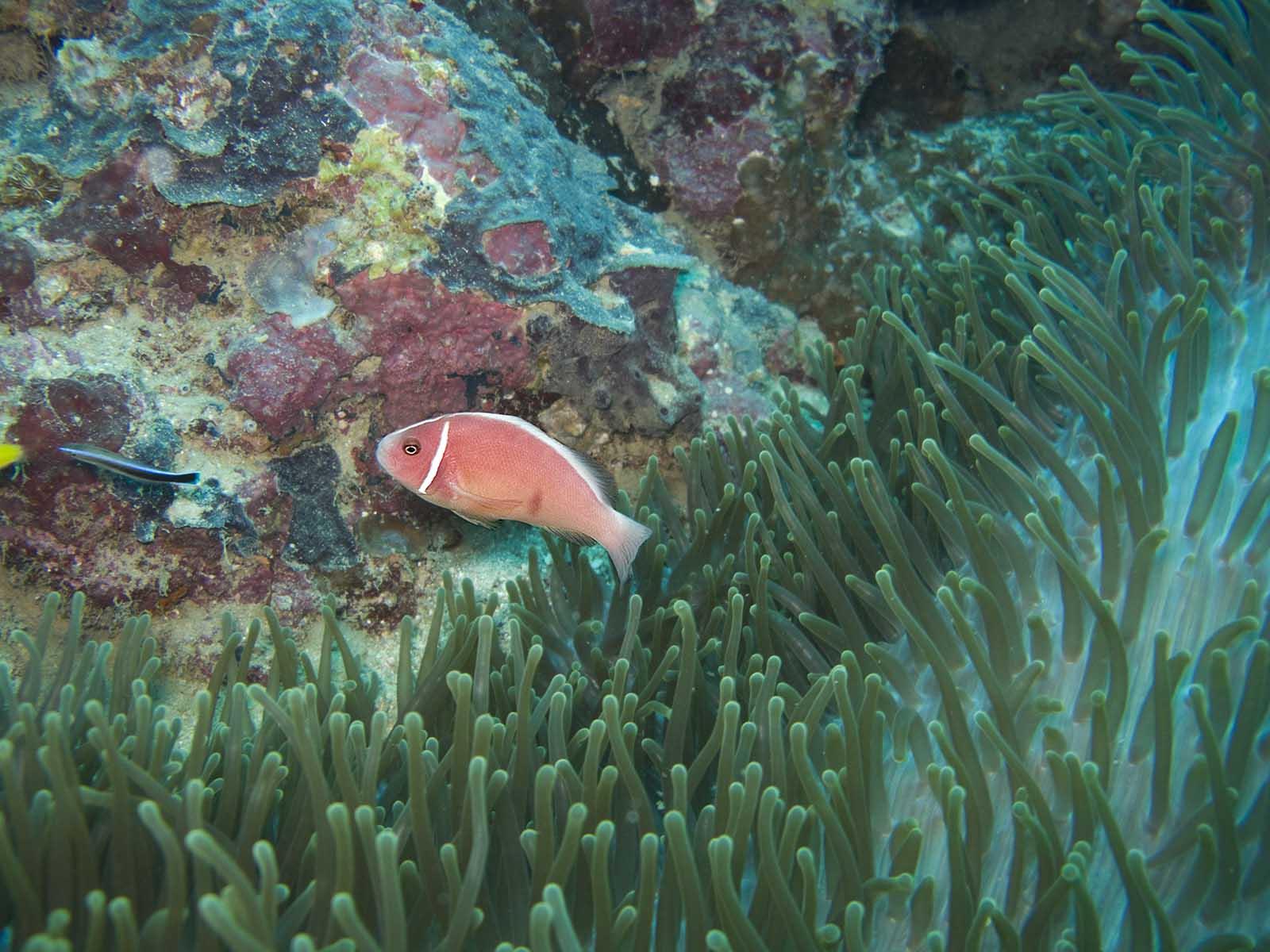 Valonia ventricosa madang ples bilong mi for Pink saltwater fish