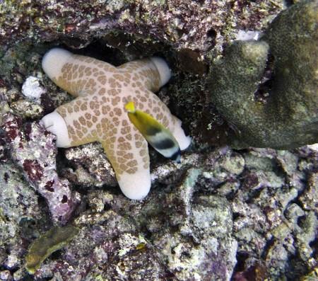 Starfish (Choriaster granulatus)