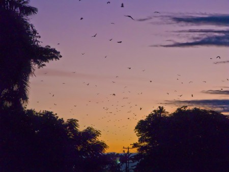 Flying Foxes (fruit bats) over Modilon Road at dawn - Madang, PNG