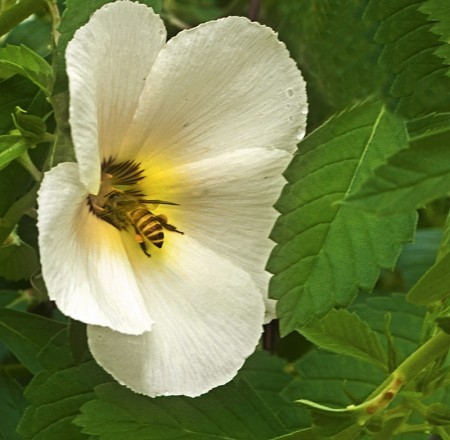 Bee on a Hibiscus flower