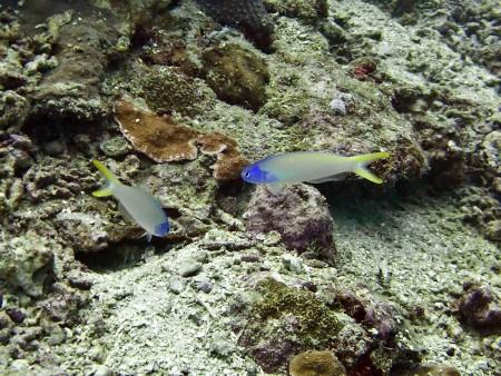 Bluehead Tilefish (Hoplolatilus starcki)