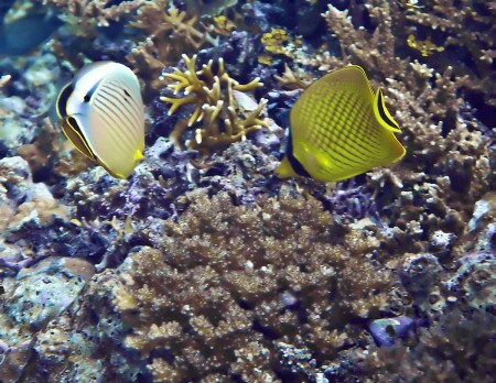 Redfin Butterflyfish (Chaetodon lunulatus), Laticed Butterflyfish (Chaetodon rafflesi)
