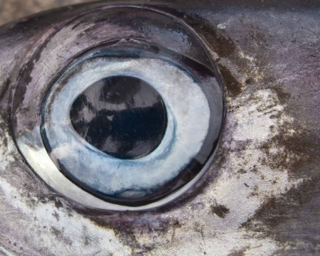 The eye of a 100kg Black Marlin