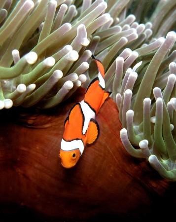 Clown Anemonefish possibility #2 for new tattoo