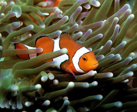Clown Anemonefish possibility #1 for new tattoo