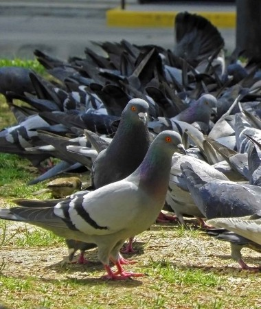 Hamilton has healthy looking pigeons