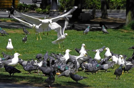 Rare shot of pigeons juggling seagulls