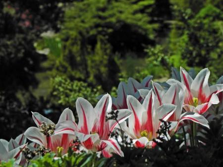 Too many tulips - Hamilton, Ontario