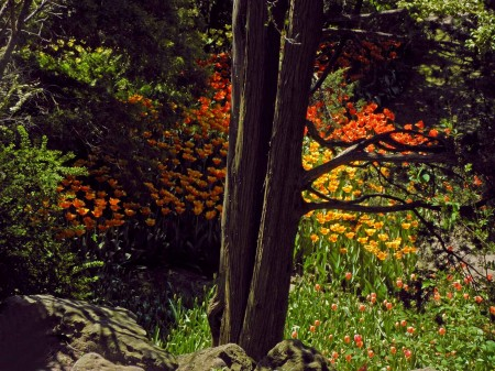 Too many tulips - Hamilton, Ontario - Jan Messersmith