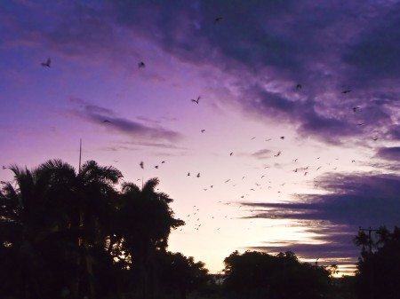 Flying Foxes at Sunrise