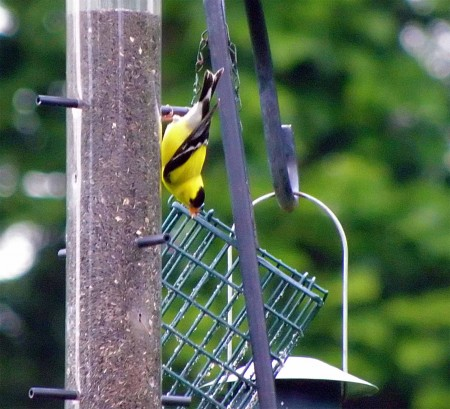 Golden Finch?