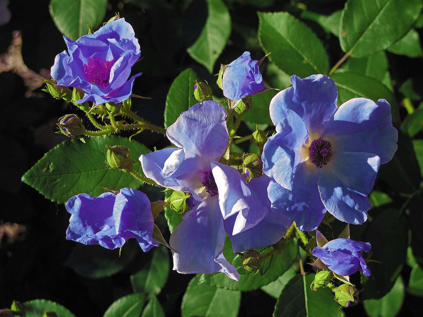 11 Real Roses And 1 Fake Springfield Garden Fake Blue Heritage Rose Img