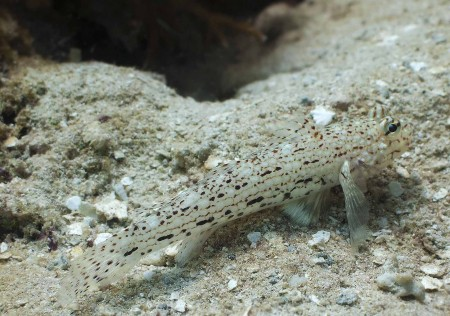 Decorated Goby [possible] (Istigobius decoratus)