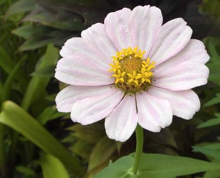 Original daisy