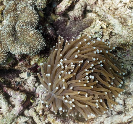 Solitary coral polyps (Heliofungia actiniformis)