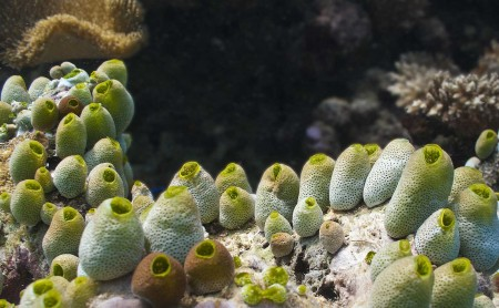 Sea squirt - Didemnum molle
